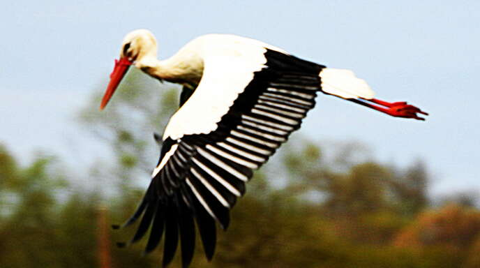 Aus großer Entfernung konnte Helga Schäfer beobachten, wie der am Schnabel gefesselte Storch wegflog. Seitdem gab es keine zuverlässige Sichtung mehr.