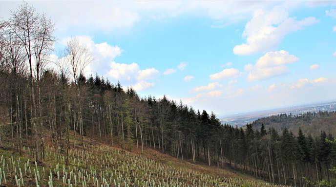 Aus dem Fichtenbestand unterhalb des Tabakbühlweges (Berghaupten) wird ein Traubeneichenmischwald.