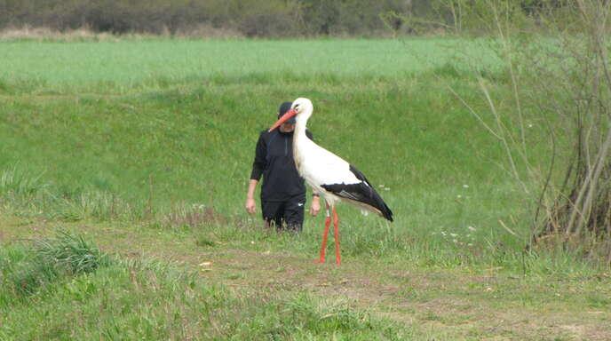 Der Storch lebt noch, aber sein Schnabel ist immer noch mit einem Band verschnürt.