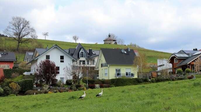 Auf den Wiesen in Fischerbach gibt es für die Störche ein großes Nahrungsangebot.
