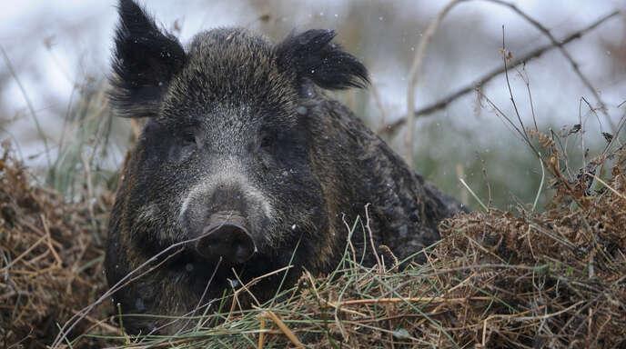Auch der Landesnaturschutzverband kritisiert die Pläne für das Trainingsgatter für die Schwarzwildjagd bei Eckartsweier.