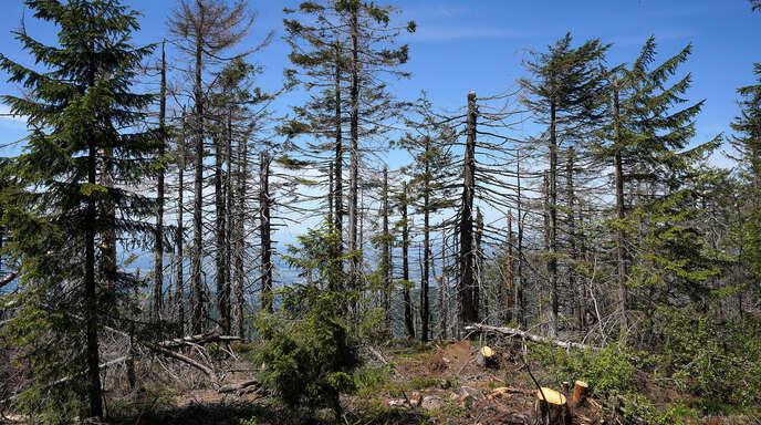 Der heimische Wald kann mit dem fortschreitenden Klimawandel nicht Schritt halten. Nun sollen Baumarten vor allem aus dem Mittelmeerraum das Ökosystem klimaresistenter machen.