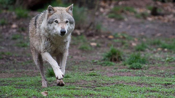 Wo sich der Wolf aufhält, der in Mühlenbach vier Schafe gerissen hat, lässt sich nicht sagen. Das Symbolfoto zeigt eineneuropäischen Wolf im Wildparadies Tripsdrill.