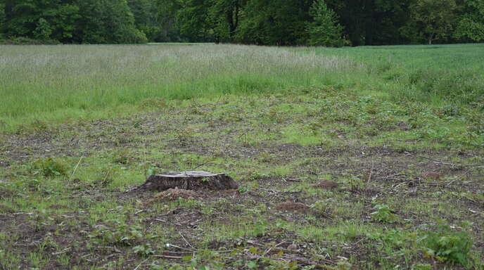 """Von der einst stolzen, rund 100 Jahre alten Eiche bei Hesselhurst, die auch ein wichtiges """"Trittstein-Biotop"""" für Pflanzen und Tiere bildete, ist nur noch dieser trostlose Stumpf übrig geblieben."""