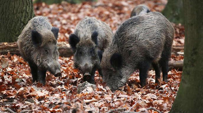 Um Jagdhunde an den Umgang mit Schwarzkitteln zu gewöhnen, soll ein Trainingsgelände im Wald bei Eckartsweier eingerichtet werden. Der Landesnaturschutzverband kritisiert, dass der Standort in einem europäischen Schutzgebiet liegt.