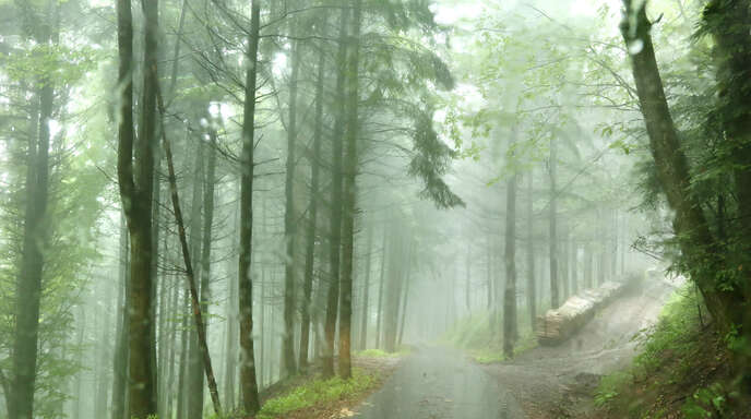 Die ergiebigen Regenfälle in diesem Jahr haben dem Wald gut getan. Deshalb gibt es im Oppenauer Stadtwald auch nur geringe Borkenkäferschäden.