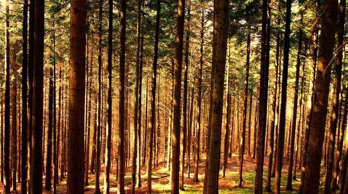 Der von Trockenheit gebeutelte Appenweierer Gemeindewald ist, auch aufgrund der großen Niederschläge der vergangenen Wochen, auf dem Weg der Besserung.