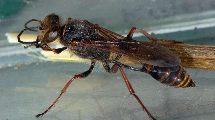 Fabulous Orientalische Mörtelwespe: Das Insekt baut Lehmtöpfchen - Baden MQ84