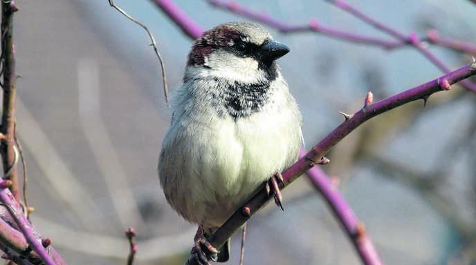 Ihn kann man in hiesigen Gefilden häufig beobachten: Den haussperling, der auch bei Münchs Wintervögel-Zählung am häufigsten gesichtet wurde.