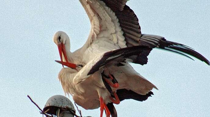 Das Storchenpaar bietet für die Bürger mitten in Oberschopfheim ein tierisches Schauspiel.