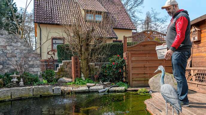 Foto oben: Jörg Wilhelm an seinem Koi-Teich im Garten. Dort genießen seine Lieblinge ein sorgenfreies Leben.