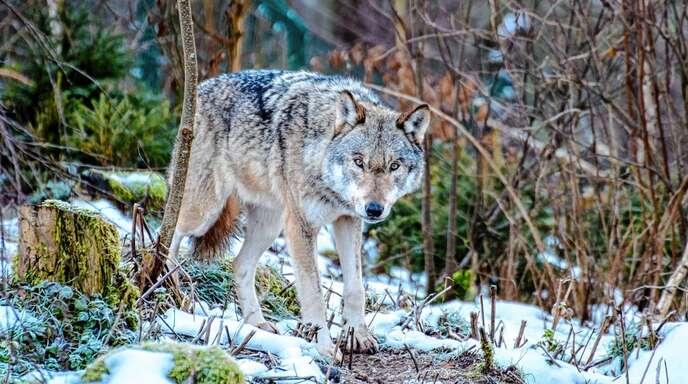 Die Rückkehr des Wolfs in den Schwarzwald wird zulasten der Offenhaltung gehen, sind die Vorsitzenden der Weidegemeinschaften im oberen Renchtal überzeugt.