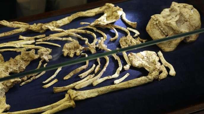 Das Skelett des Australopithecus «Little Foot» bei der Präsentation in Johannesburg.