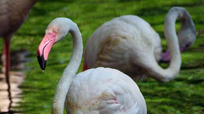 Der Flamingo Ingo hat 71 Jahre auf dem Buckel.