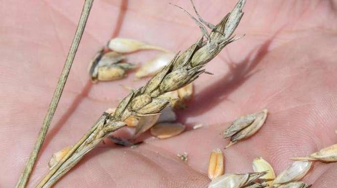 Aufgrund der Dürre in vielen Regionen Deutschlands haben die Bauern eine deutlich schlechtere Getreideernte eingefahren.