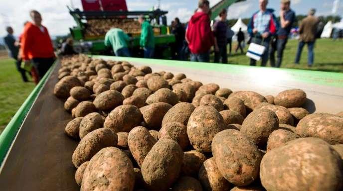 Kartoffeln liegen auf einem Förderband während der Internationalen Kartoffelfachmesse PotatoEurope.