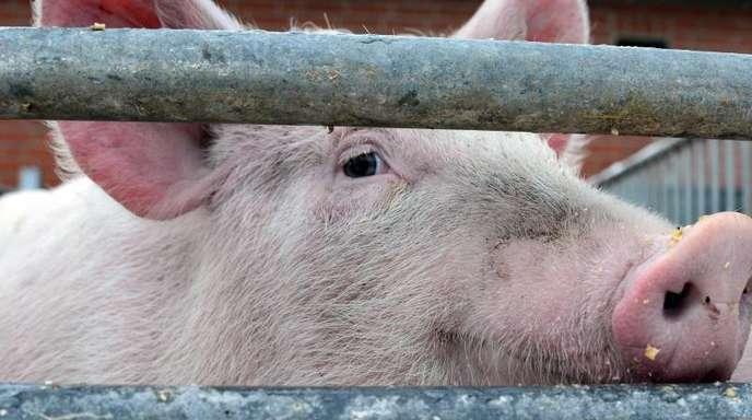 Die Afrikanische Schweinepest ist eine schwere Virusinfektion, die ausschließlich Schweine, also Wild- und Hausschweine, betrifft und für sie tödlich sein kann.