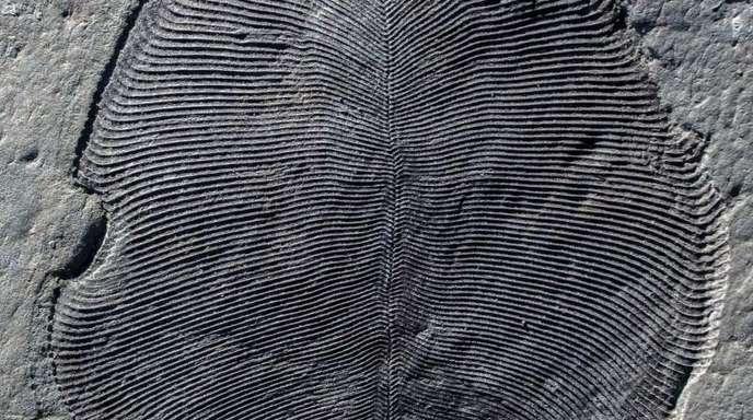 Ein in Russland gefundenes Fossil von Dickinsonia.
