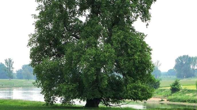 In Feuchtgebieten und Flussauen zu Hause, bildet die Flatter-Ulme als einzige heimische Baumart Wurzeln wie ein Urwaldriese in tropischen Regenwäldern aus.