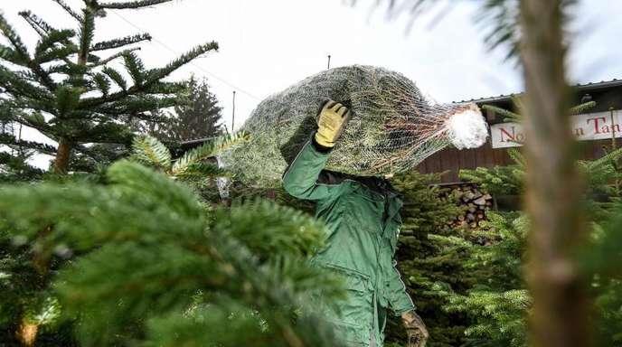 Viele Menschen kaufen ihren Weihnachtsbaum am liebsten direkt beim Erzeuger und nehmen ihn frisch abgesägt mit.