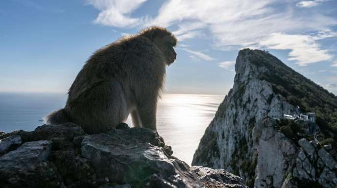 Die gefundenen Fossilinen gehörten Tieren, die den noch heute am Felsen von Gibraltar lebenden Berberaffen sehr ähnlich sind.