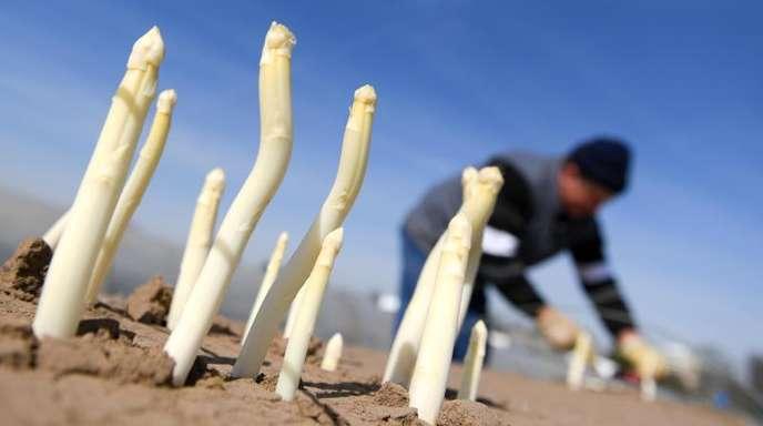 Spargelstangen ragen auf dem Tannenhof im südhessischen Weiterstadt aus dem Damm, während ein Saisonarbeiter das edle Gemüse erntet.