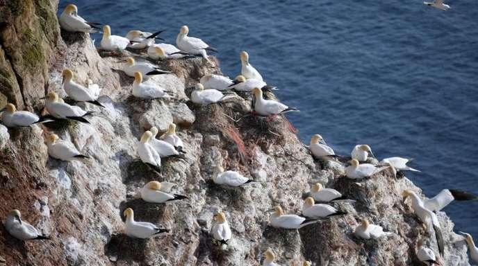 Basstölpel sitzen auf ihren Nestern auf der Nordseeinsel Helgoland.