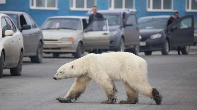 Auf Nahrungssuche: Dieser Eisbär ist in Sibirien in besiedeltes Gebiet vorgedrungen und sorgt nun für Aufregung.