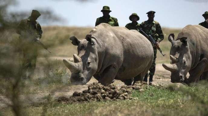 Die Nördlichen Breitmaulnashorn-Weibchen Fatu und Najin werden nach dem Grasen in ihrem Gehege von den Rangern zurückgetrieben.