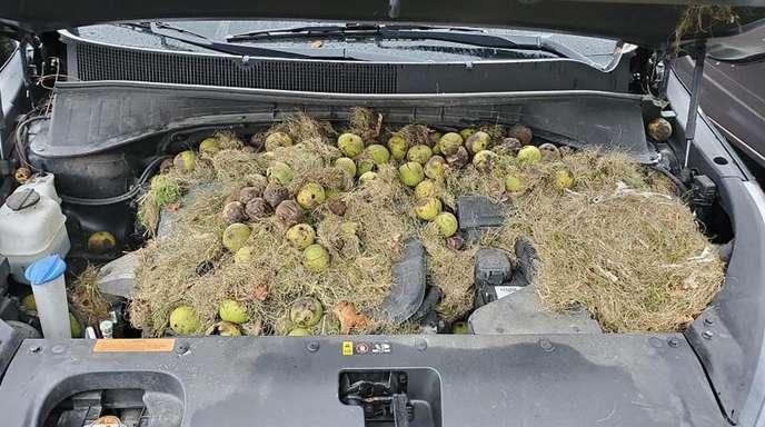 Dieses von Chris Persic zur Verfügung gestellte Foto zeigt die Motorhaube seines Autos: Eichhörnchen hatten mehr als 200 Walnüsse und Gras gehortet.