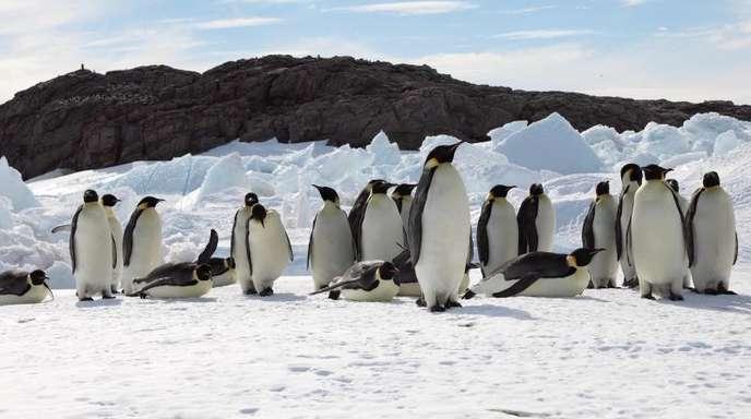 Geht die Erderwärmung so weiter wie derzeit, dann würde die Zahl der Kaiserpinguine um mehr als 80 Prozent sinken, schreiben Forscher in einer neuen Studie.