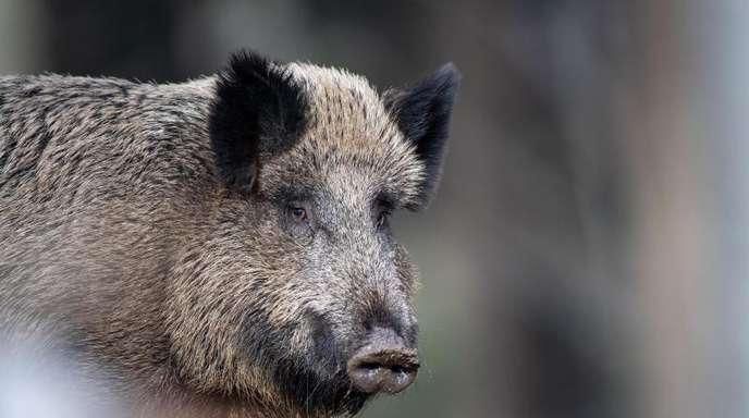 Die Afrikanische Schweinepest war zunächst bei einem Wildschwein in Polen festgestellt worden.