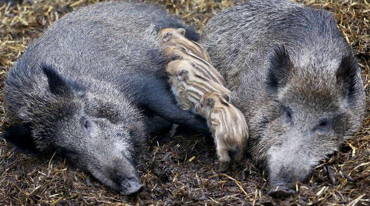 Die Bachen, wie die weiblichen Wildschweine genannt werden, kümmern sich derzeit um ihren Nachwuchs. Sie zu schießen ist eine Straftat.