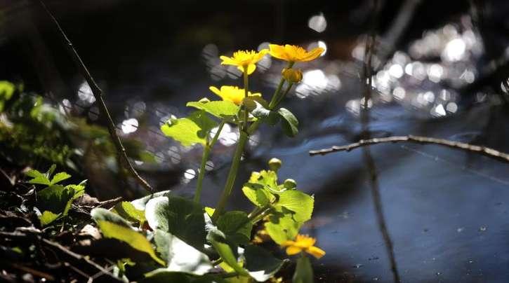Sumpfdotterblumen stehen an einem Bachlauf im Sonnenschein.